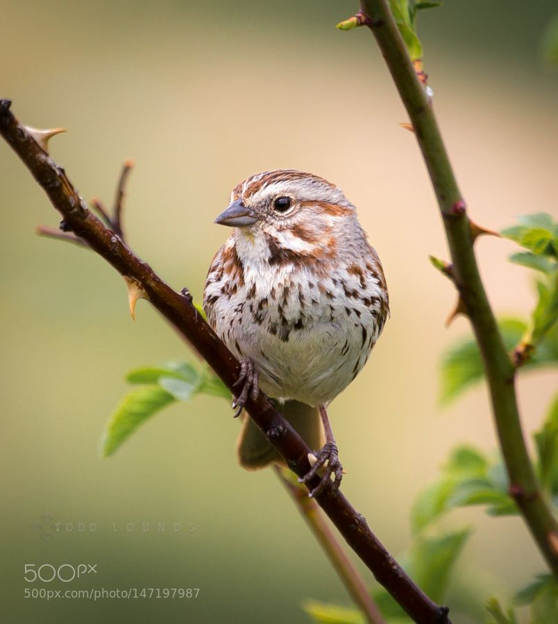Sing little sparrow by ToddLounds via http://ift.tt/1MHxJty