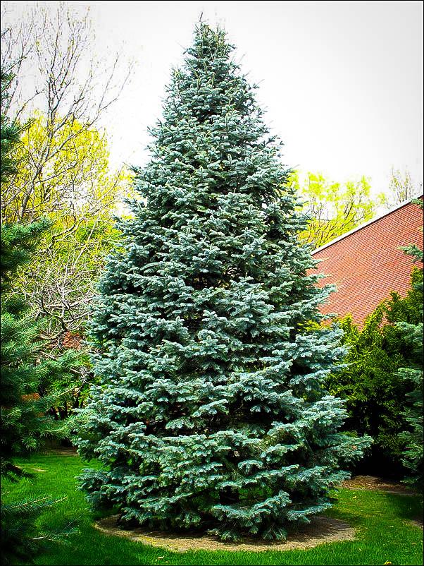 Colorado Concolor White Fir in 2020 Plants, Blue spruce
