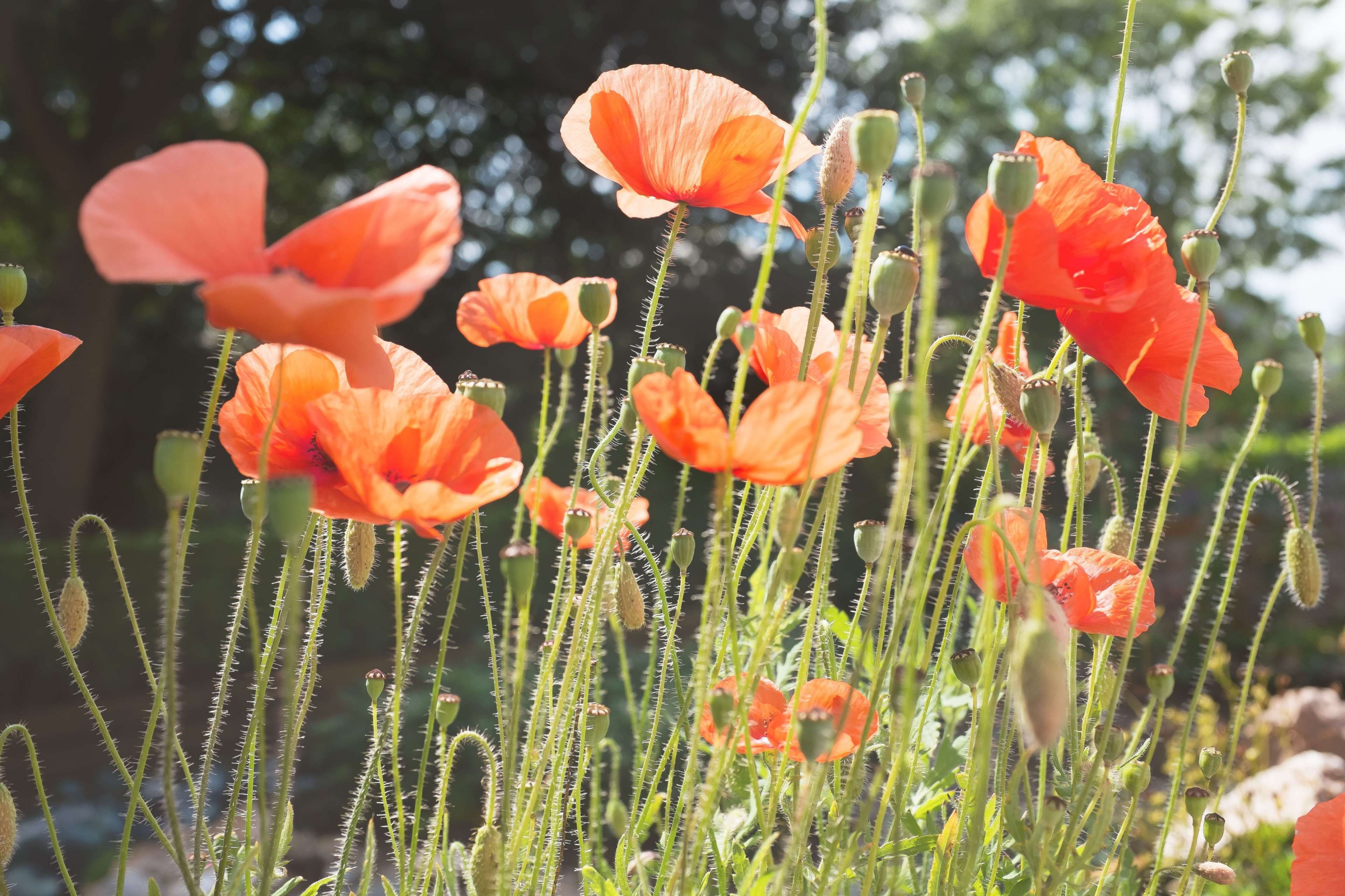 Flowers Nature Plant Poppy Red Wild Poppies Wallpapers And