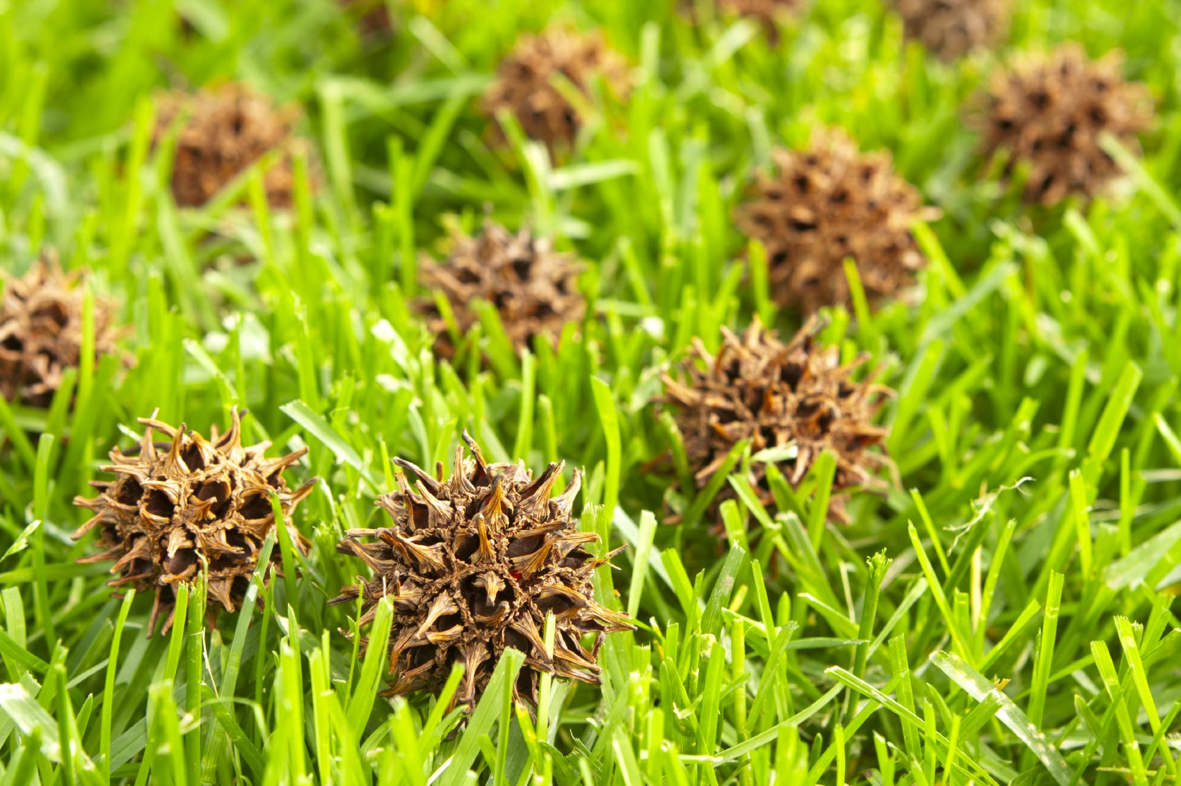 Can You Compost Sweetgum Balls Learn About Sweetgum Balls In Compost Fertilizer For Plants Tree Mulch Compost