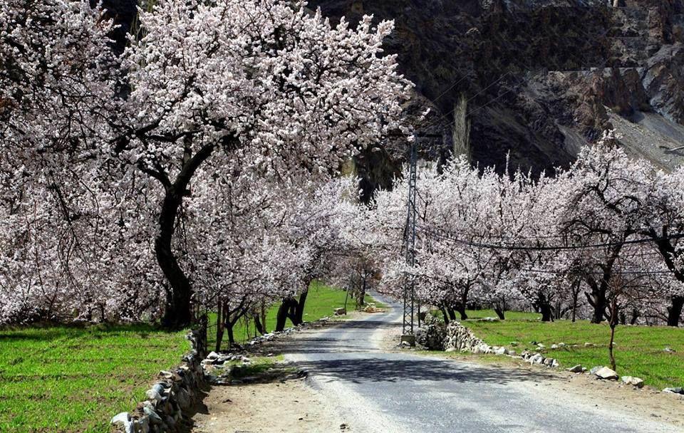 Cherry Blossom Skardu Pakistan Cherryblossom Skardy Travelpakistan Cherry Blossom Around The Worlds Country Roads