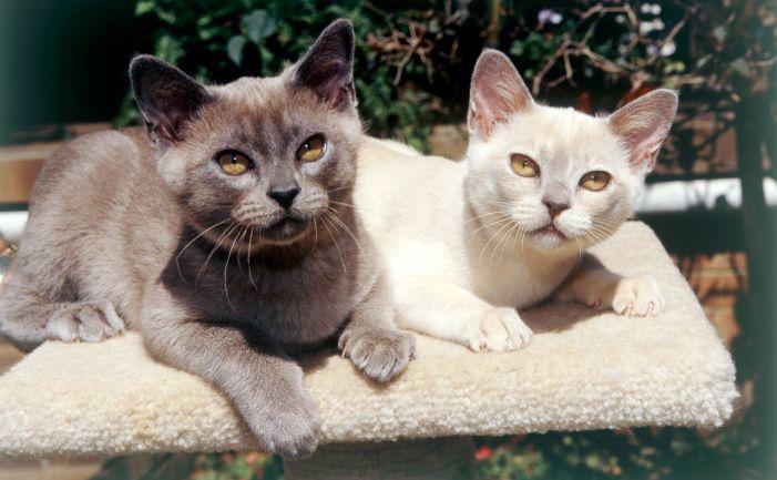 Burmese Cats Burmese Cat Burmese Kittens Cats