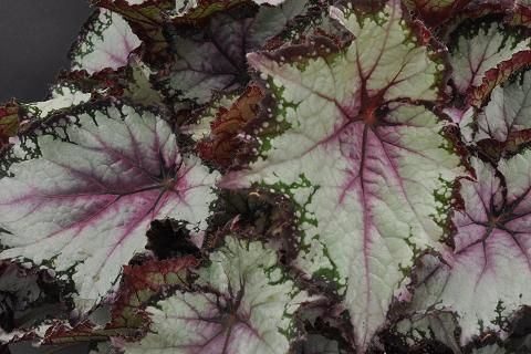 Begonia 'Blueberry Sorbet'