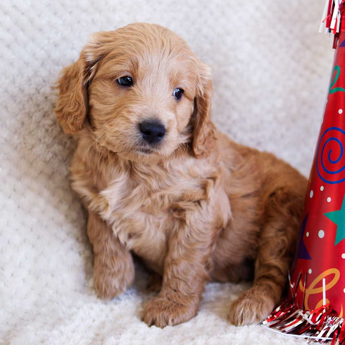 Teacup Goldendoodle Mini Goldendoodle Medium Goldendoodles