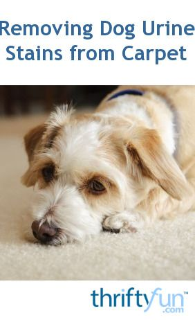 Cleaning Dog Urine Stains From Carpet Dog Urine Dogs Dog