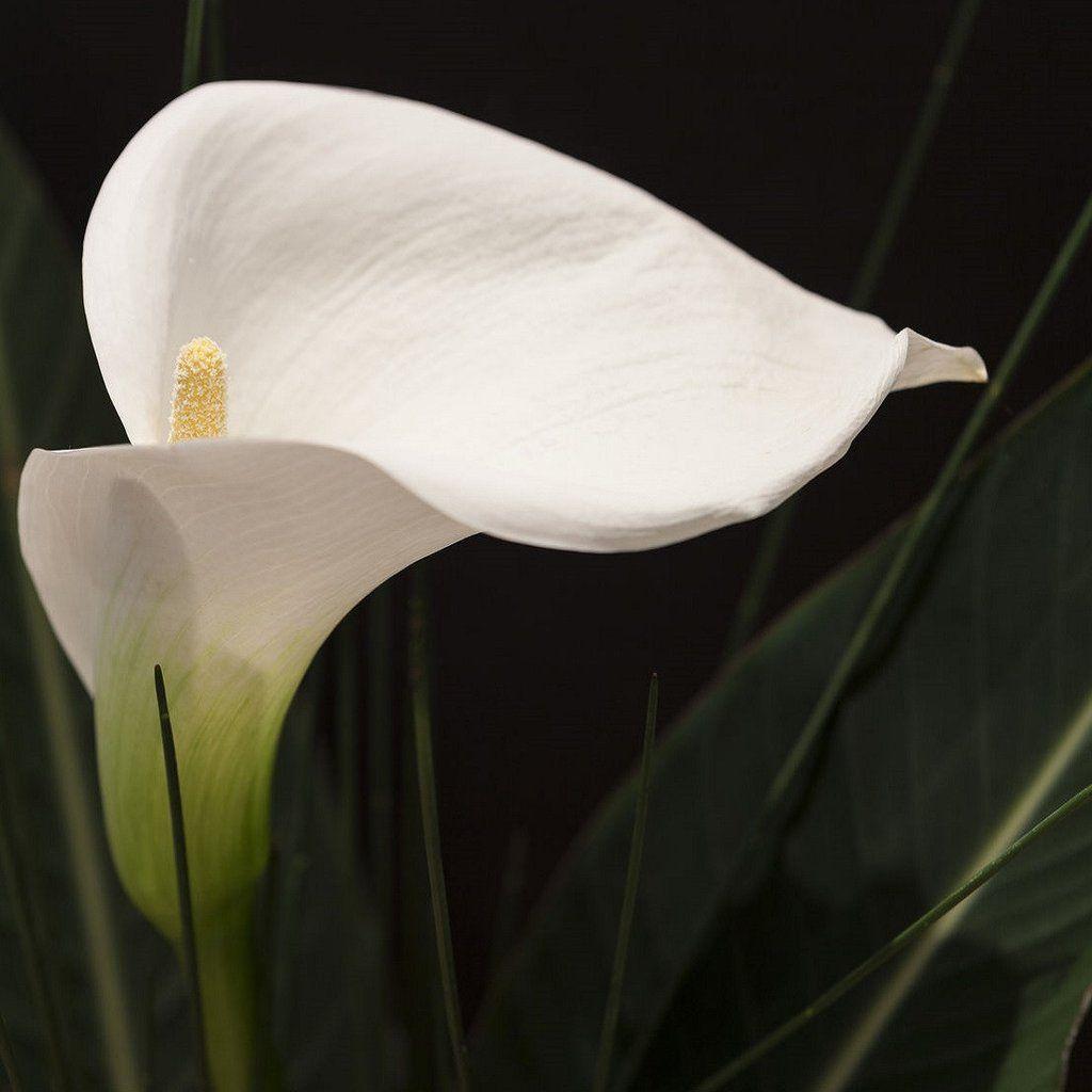 Allium ampeloprasum spanish allium bliss allium and cut flowers allium ampeloprasum spanish allium izmirmasajfo
