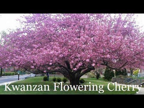 Plant A Kwanzan Cherry Tree Yoshino Cherry Tree Growing Cherry Trees Trees To Plant