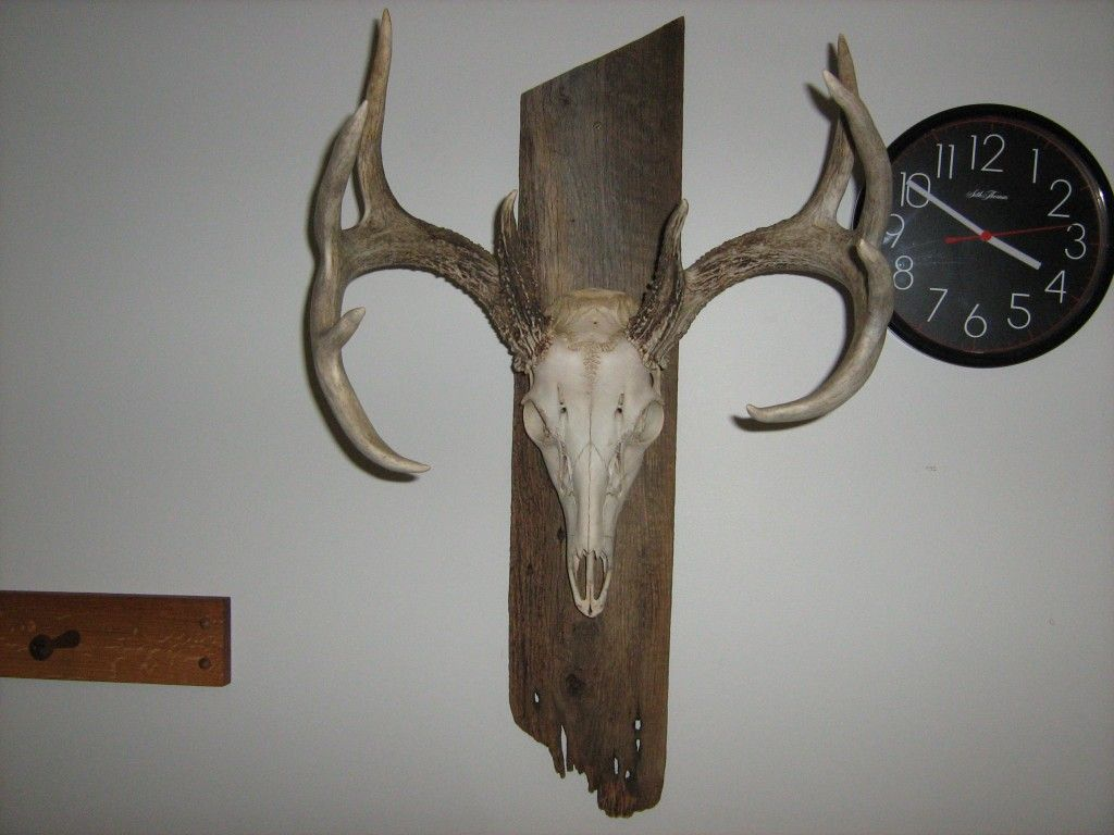 Deer skull mount ideas - Deer Skull Mount