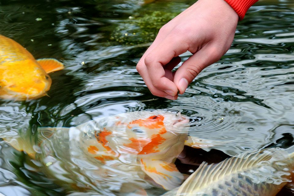 Fish Food Market Showing Footprints For Strong Annual Sales Kyorin Food Industries Avanti Feeds Shishi He Dem In 2020 Fish Farming Aquarium Fish Food Food Industry