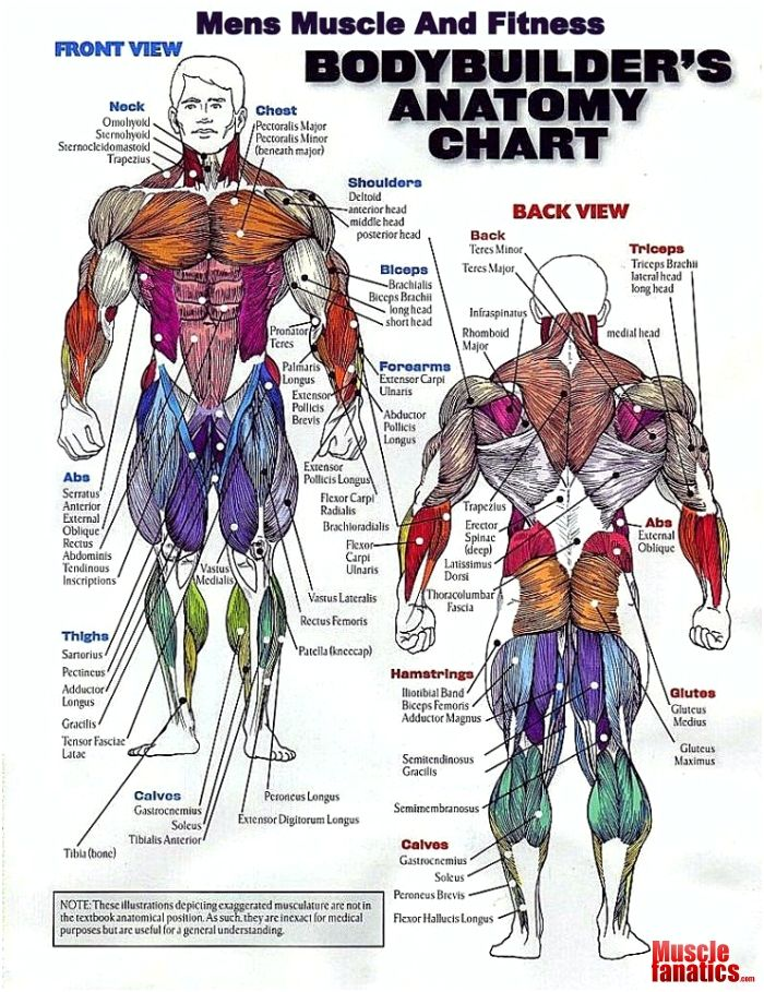 Bodybuilders Anatomy Chart Art Stuff Pinterest Anatomy Gym