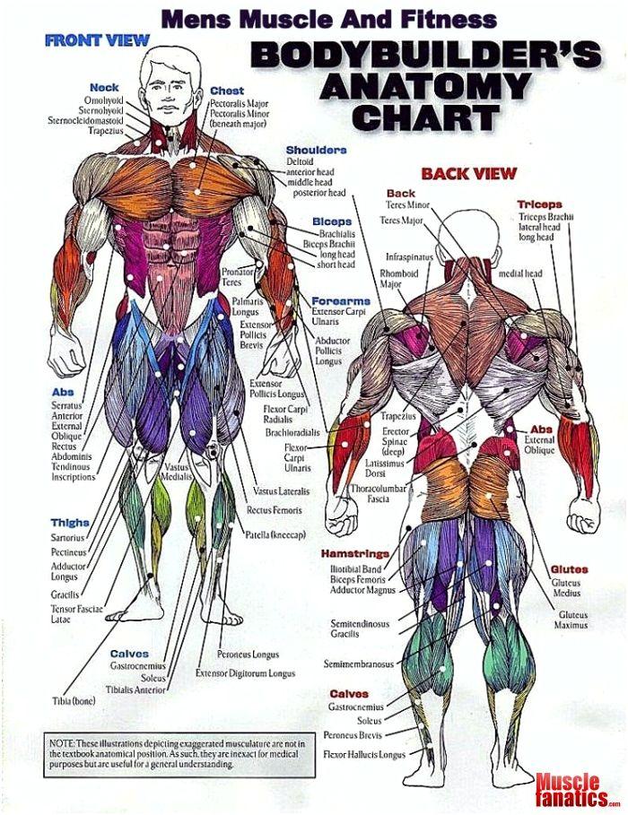 Bodybuilding muscle anatomy