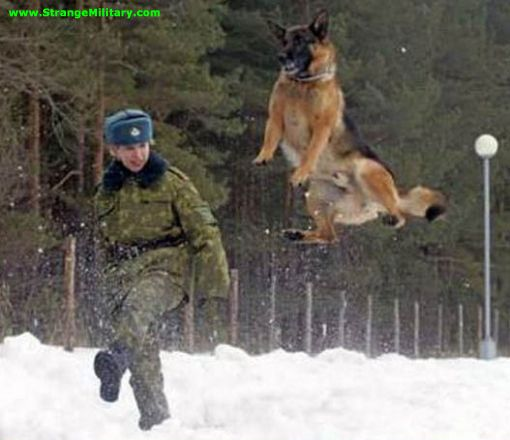 German Shepherd Jumping Army German Shepherd High Jump Dinos