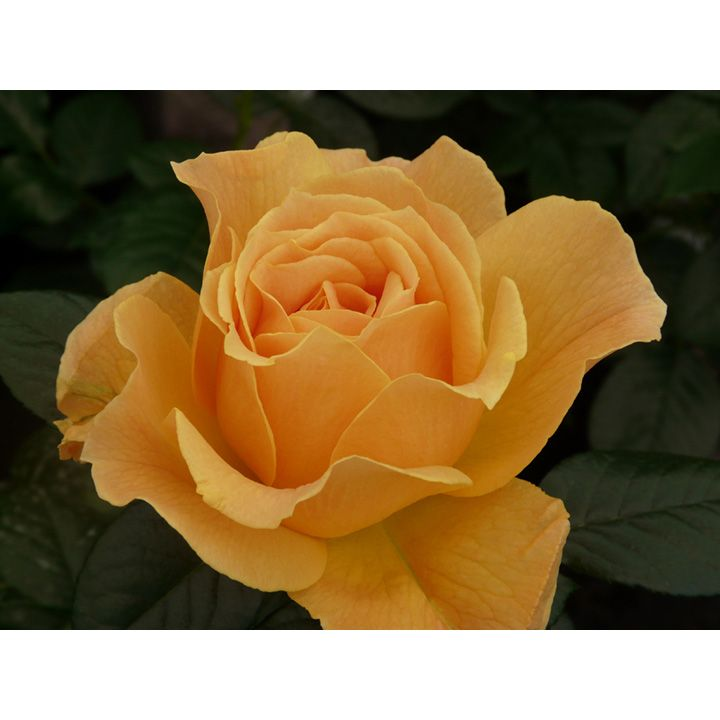 Rose Plant Easy Going Planting Roses Rose Sutton Seeds