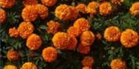 When to plant marigolds: 'start seeds indoors up to nine weeks before the final frost date for African marigolds and five to six weeks for other species.'