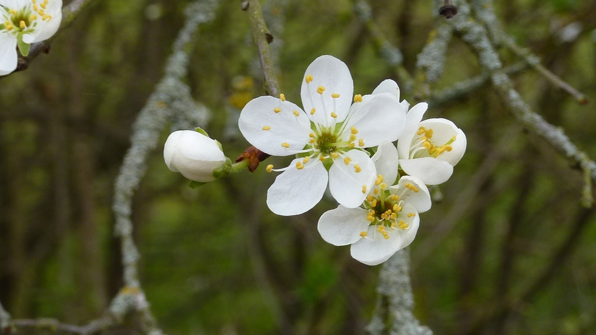 A Shropshire Prune Damson Flower Pure White With 5 Petals