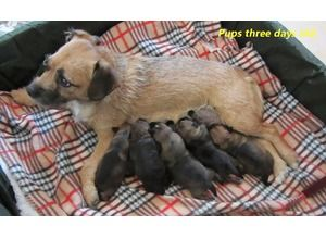 English Bull Terrier Pups Border Terrier Pup Toy Yorkshire Terrier