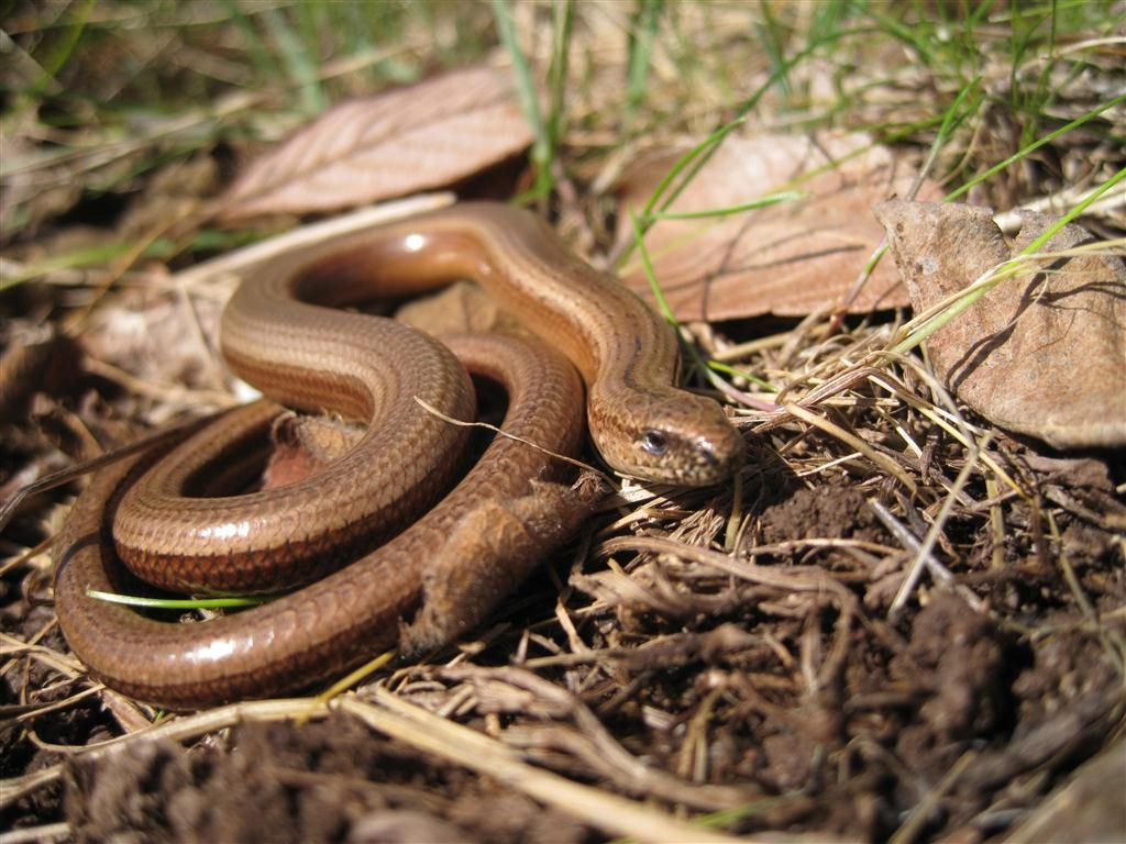 Slow Worm Legless Lizard
