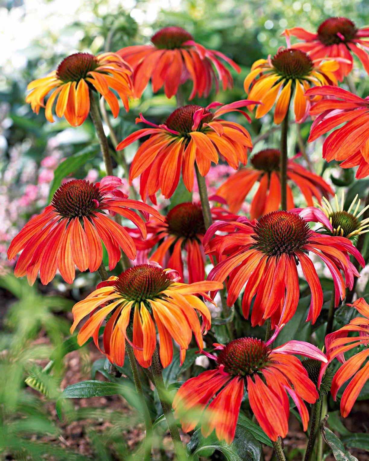 Les vivaces reviennent chaque année Plante vivace, Fleur