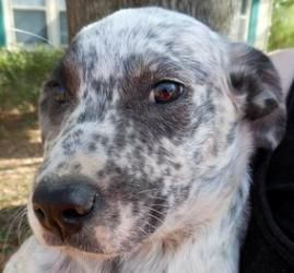 Rosco Is An Adoptable Catahoula Leopard Dog In Andover Massachusetts Please Read Rosco S Entire Profile Dog Sounds Dog Adoption Funny Animal Pictures