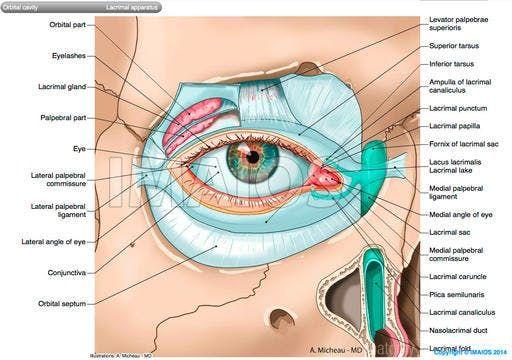 Lacrimal apparatus - Orbital septum Superior tarsus, Medial
