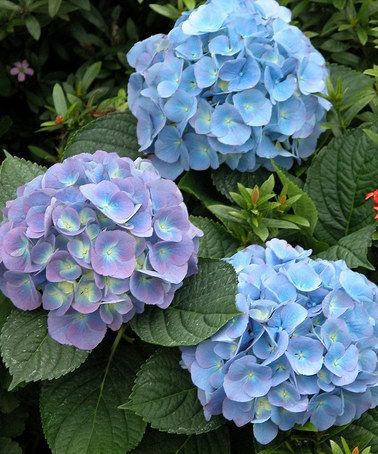 Mini Penny Hydrangea Set Of Three By Cottage Farms Direct Front Beds 2 On Each Side Of The Astilbes Under Dining Room Wi Hydrangea Flower Seeds Farm Direct