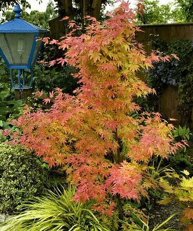 Orange Dream Japanese Maple Tree