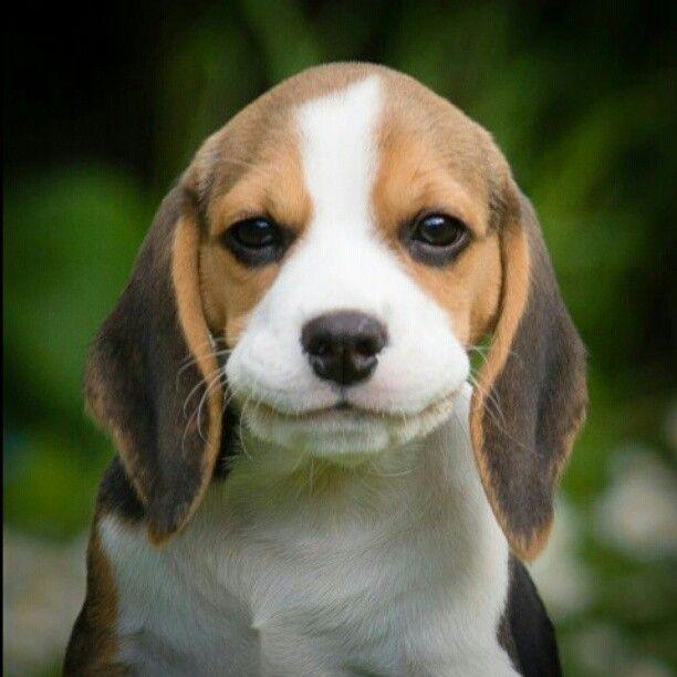 Diablorsv Instagram My Beagle Puppy Louie Smiling Beagles Pinterest Beagle Dog And Pup