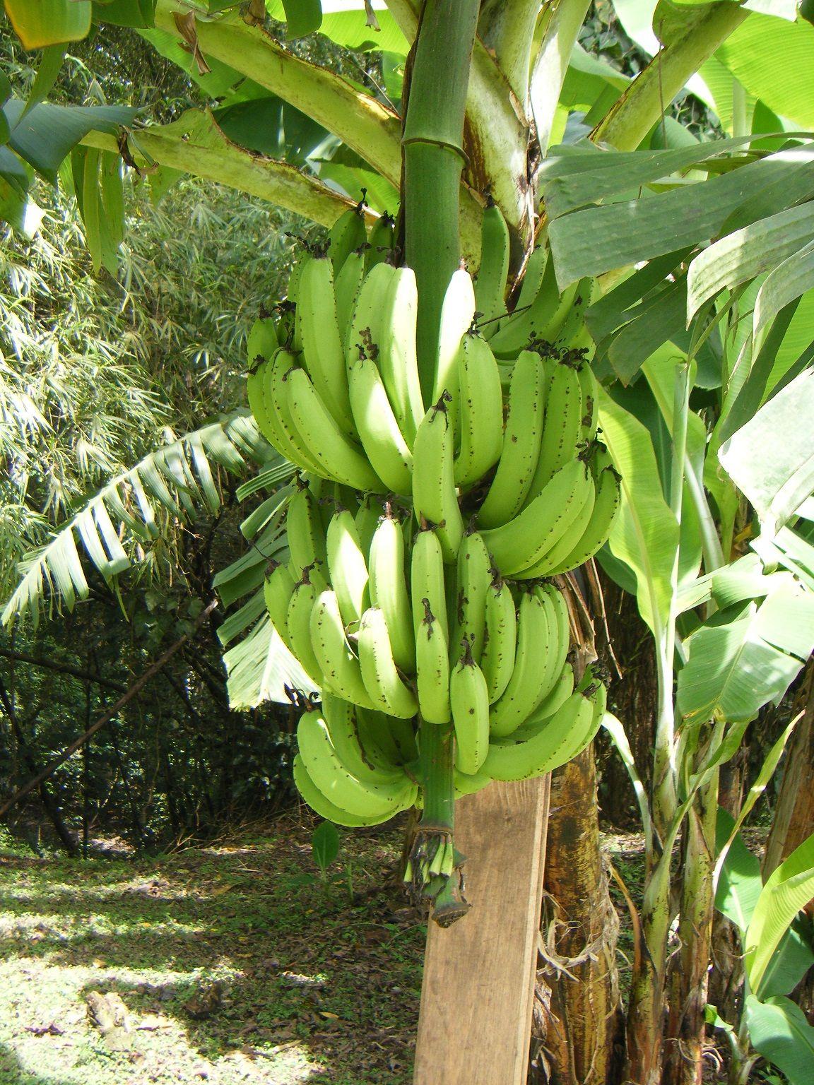 fruit trees in panama Google Search Harvest farm