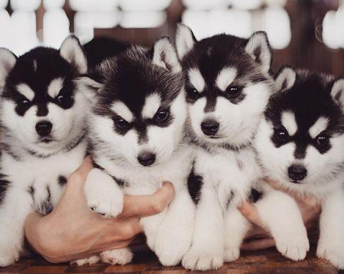 The Top 50 Indoor Activities In Auckland Cute Husky Husky Puppy