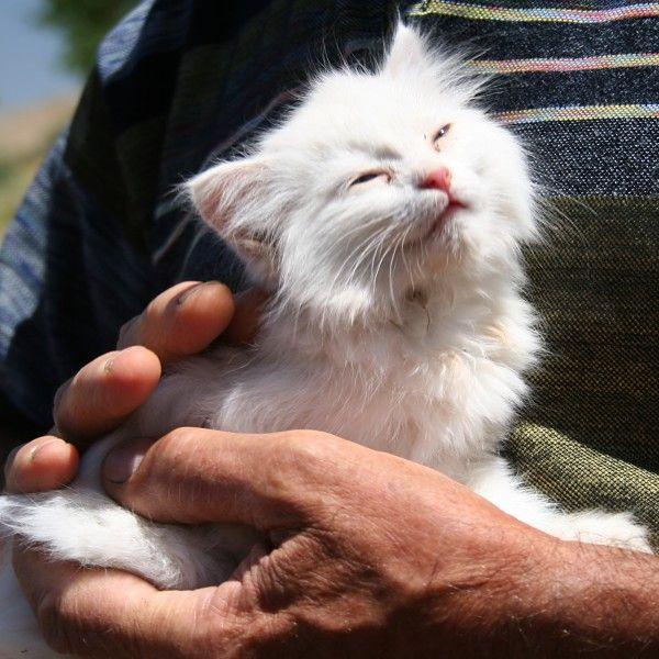 Cat By Meowy Via Wiki Savannah Cat Rescue Munchkin Cat Munchkin Cat Breeders
