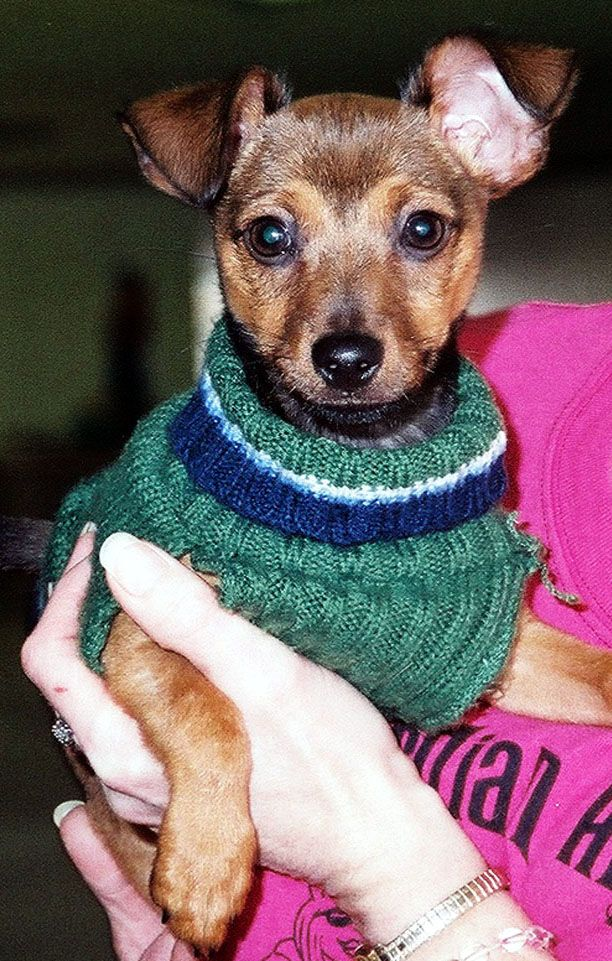 Adopt Stuart On Chihuahua Terrier Mix Happy Puppy Terrier Mix Dogs