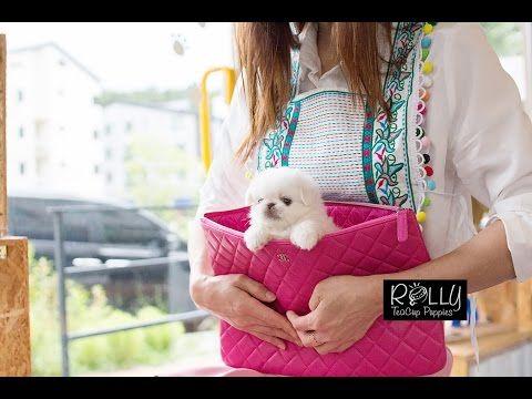 Forever Pocket Size Pekingese KiKi Rolly Teacup Puppies