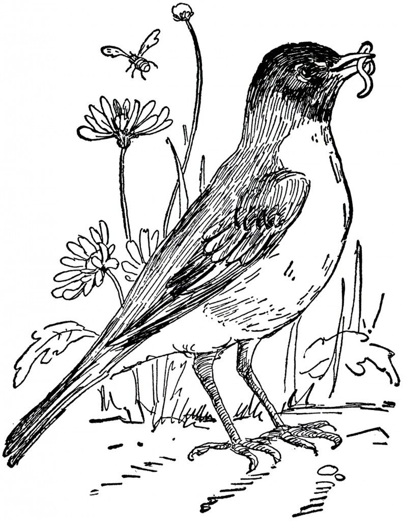Vintage Robin Drawing Bird Coloring Pages Garden Coloring Pages