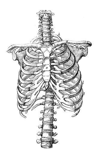 Antique Medical Scientific Illustration High Resolution Rib Cage Vector Art Illustration Scientific Illustration Medical Illustration Rib Cage Drawing