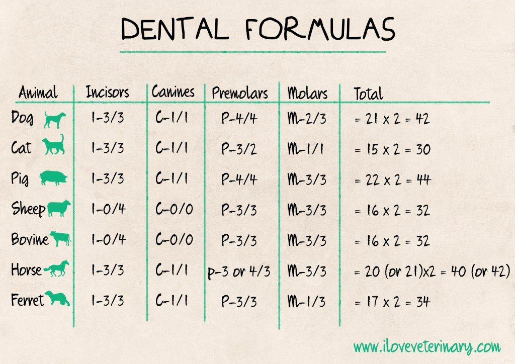 Dental Formulas in Animals I Love Veterinary Vet tech