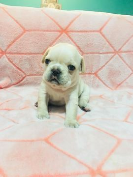 English Bulldog Puppy For Sale In Charleston Sc Adn 70039 On