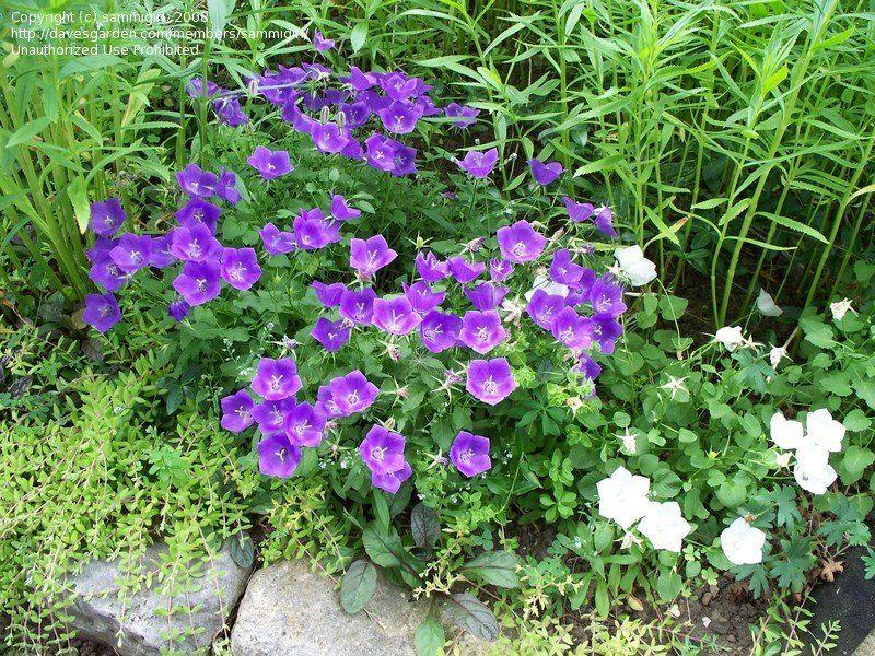 Plantfiles Pictures Campanula Carpathian Bellflower Carpathian Harebell Tussock Bellflower Blue Clips Campanula Carpa Little Garden Bellflower Campanula