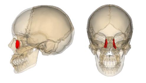 Morfofunción: Cabeza y cuello: Unguis | Protesis | Pinterest | Me gustas