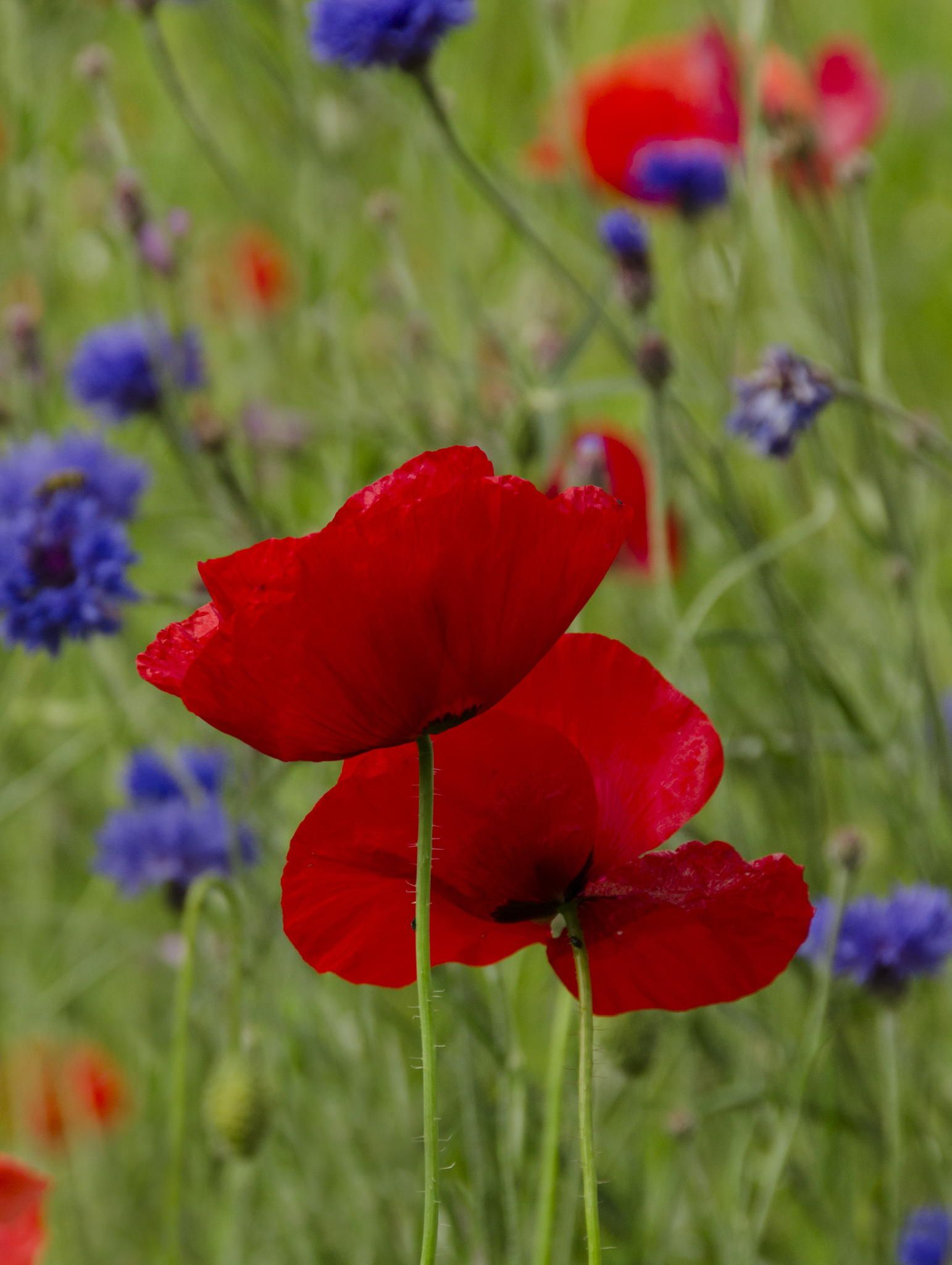 Wild flower meadow with poppies and cornflowers   *~BeWitchingBokeh ...