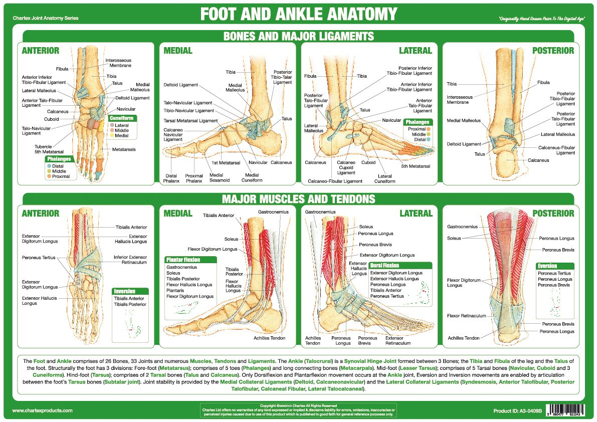 Designed and published exclusively by Chartex the Foot And Ankle ...