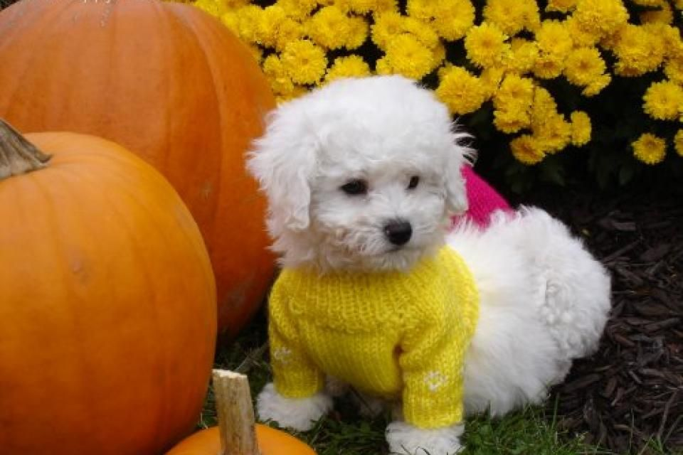 Bich Poo Poochion Bichon Frise Poodle Mix Breed Puppies For