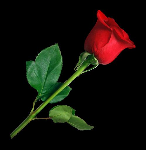 Rose Png Transparent Image Rose Flower Png Iphone Background Images Blue Background Images