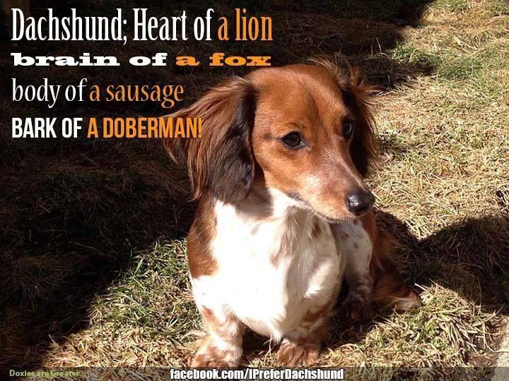 So True Of Our Little Dachshund Friends Dachshund Dog