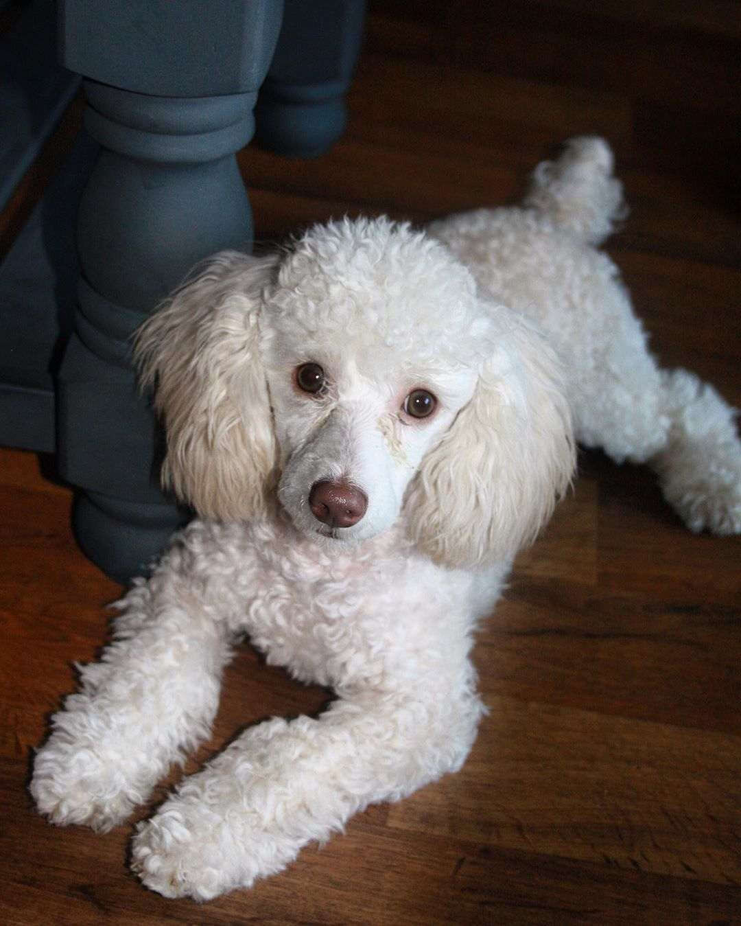 seriously mom?  #toypoodle #poodlepuppy #poodle #whitepoodle #poodlesofinstagram #poodlelove #puppies...