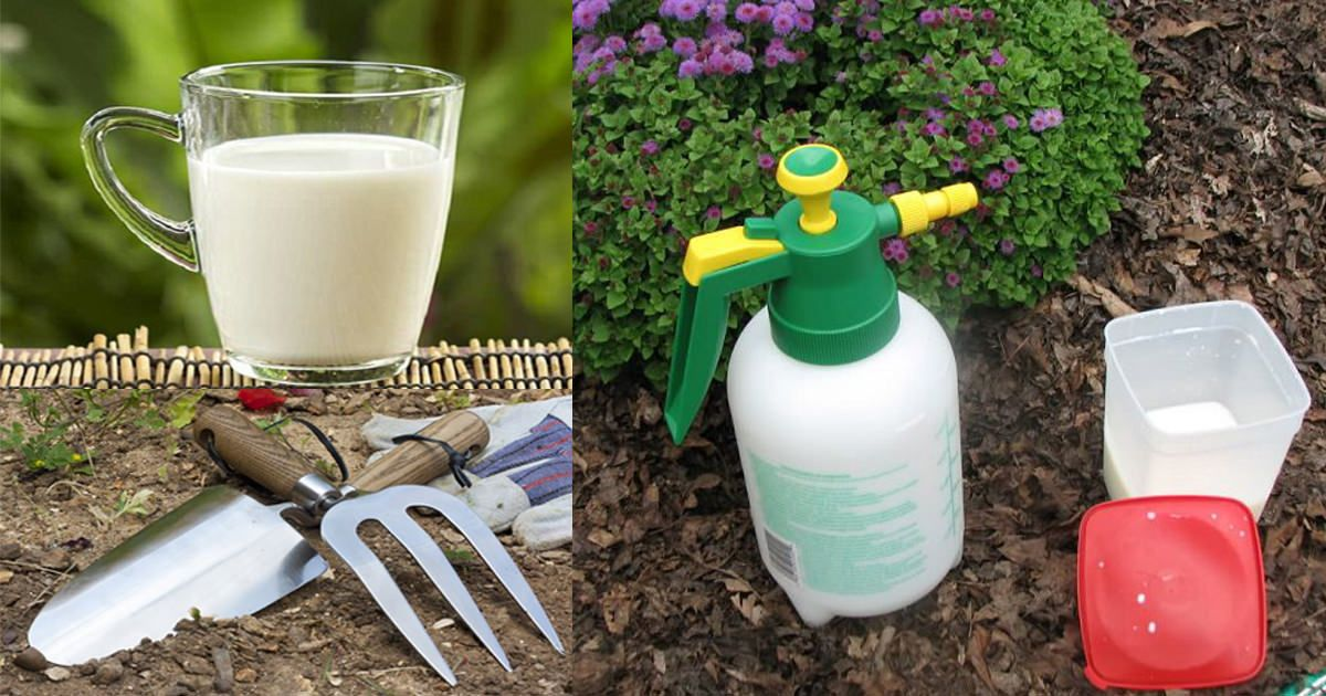 Use Milk In The Garden And Be Ready For These 8 Surprises is part of Balcony garden Fence - Learn about the 8 amazing milk uses in the garden backed by experiments and research!