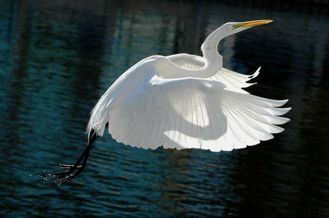 Great white egret in flight it 39 s my tern pinterest for White heron paint