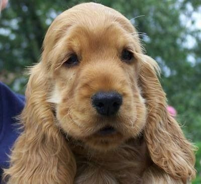 Look at that face! Golden English Cocker Spaniel puppy.
