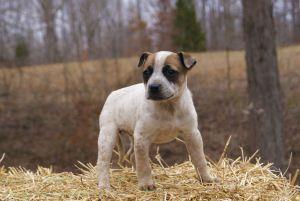 Blue Heeler Boxer Mix Ahhhh Baby Boxer Puppies Boxer Puppies