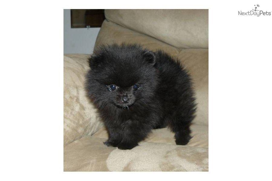 Gorgeous Tiny Akc Black Beauty 3lbs Full Grown Pomeranian Puppy For Sale Puppies Black Pomeranian Puppies