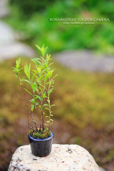 超ミニ盆栽教室5年目、6/3。 |盆栽ごっこ。…時々カメラ。